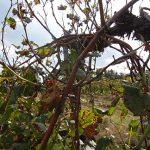 F Chardonel E-L Stage 40 After harvest, canes maturing.