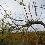 MVEC Valvin Muscat E-L Stage 46 Middle to end of leaf fall.