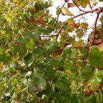 NWV Arandel E-L Stage Stage 43 Beginning of leaf fall.