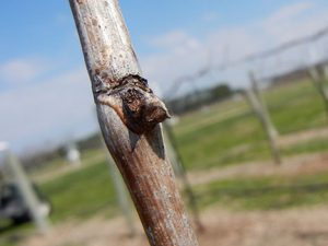 NWV Aromella E-L Stage Stage 1-2 Winter bud to Bud scales opening