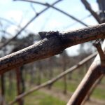 F Vignoles E-L Stage 1 Winter bud
