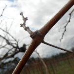 F Vignoles E-L Stage 1 - 2 Winter bud to bud scales opening