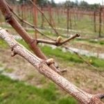 F Chardonel E-L Stage 3 Wooly bud +- green showing