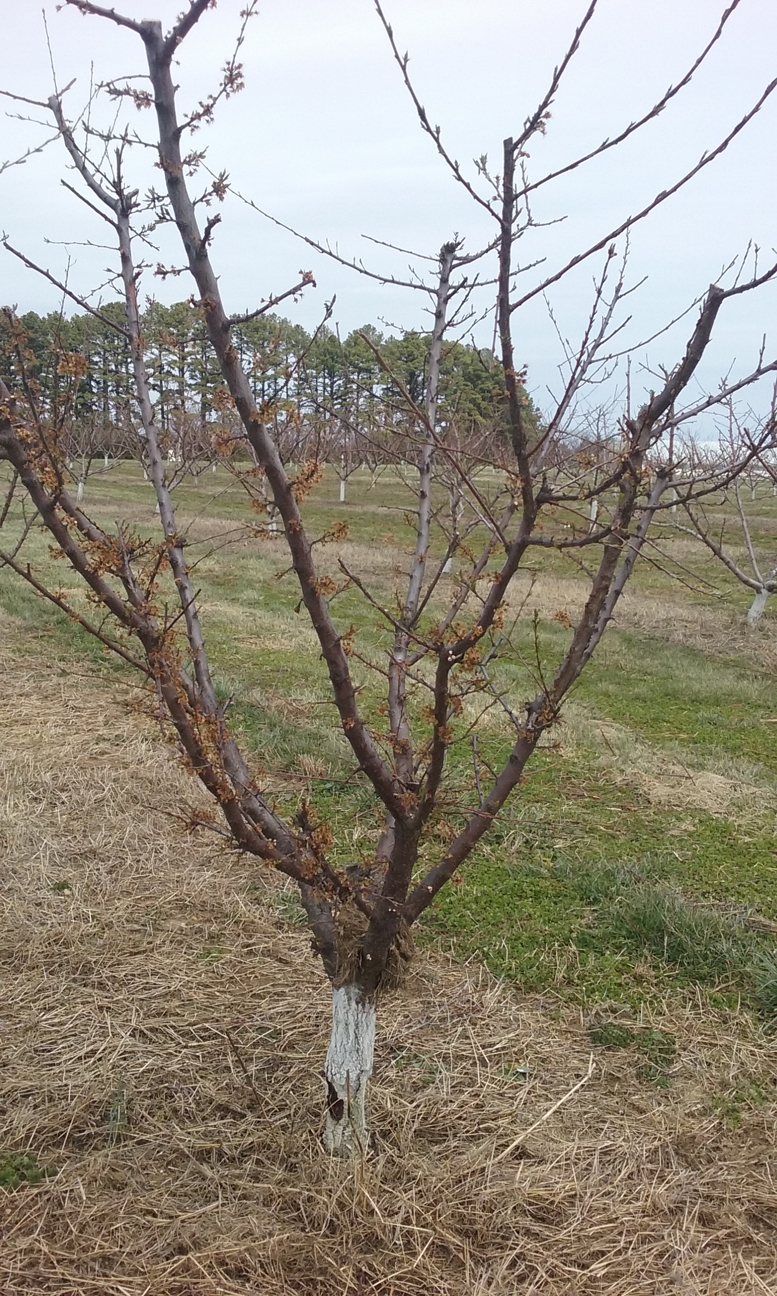 Frost Damage on Fruit Trees