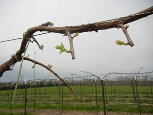 NWV Aromella E-L Stage 7 First leaves separated from shoot tip