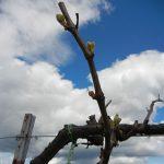 R Seyval Blanc E-L Stage 4 Budburst, leaf tips visible