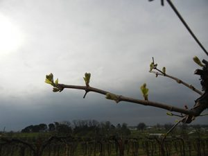 R Seyval Blanc E-L Stage 7 - 9 First leaves separated from shoot tip to 2 to 3 leaves separated; shoots 2 – 4 cm long