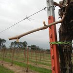 F Vignoles E-L Stage 3 Wooly bud +- green showing