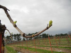 F Chardonel E-L Stage 4 - 7 Budburst; leaf tips visible to First leaf separated from shoot tip