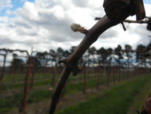 F Cayuga White E-L Stage 3 - 4 Wooly bud +- green showing to Budburst, leaf tips visible