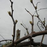 D Vidal Blanc E-L Stage 4 Budburst, leaf tips visible