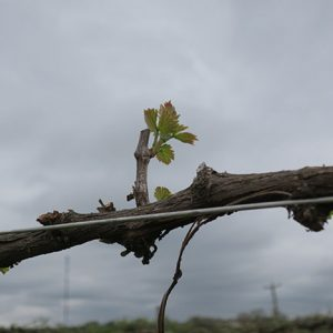 G Cabernet Sauvignon E-L Stage 9 2 to 3 leaves separated; shoots 2 – 4 cm long