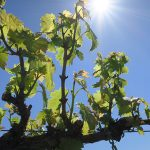 MVEC Valvin Muscat E-L Stage 13 6 leaves separated.