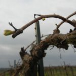 MVEC Chambourcin E-L Stage 3 - 4 Wooly bud +- green showing to Budburst, leaf tips visible