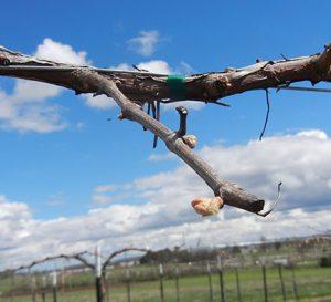 NWV Arandel E-L Stage 3 - 4 Wooly bud +- green showing to Budburst, leaf tips visible