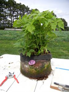 Here is one of the bagged raspberries before the shoots were thinned.