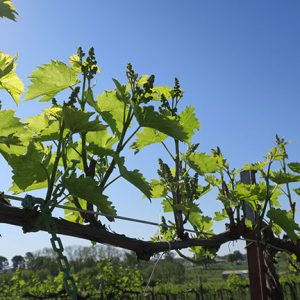 R Seyval Blanc E-L Stage 13 – 14 6 leaves separated to 7 leaves separated.