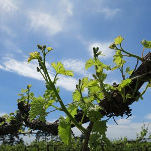 F Vignoles E-L Stage 11 - 12 4 leaves separated to 5 leaves separated; shoots about 10cm long; inflorescence clear.