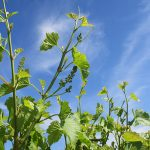 F Vignoles E-L Stage 15 8 leaves separated, shoot elongating rapidly; single flowers in compact groups.
