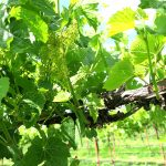 F Vignoles E-L Stage 23 17 – 20 leaves separated; 50% cap fall (= flowering).