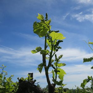 D Vidal Blanc E-L Stage 15 8 leaves separated, shoot elongating rapidly; single flowers in compact groups.