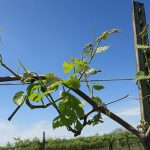 G Cabernet Sauvignon E-L Stage 12 5 leaves separated; shoots about 10cm long; inflorescence clear.