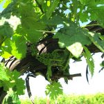 G Cabernet Sauvignon E-L Stage 17 12 leaves separated; inflorescence well developed, single flowers separated.