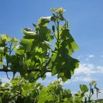 MVEC Valvin Muscat E-L Stage 14 - 16 7 leaves separated to 8 leaves separated, shoot elongating rapidly; single flowers in compact groups to 10 leaves separated.
