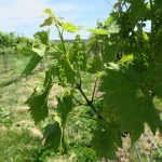 MVEC Valvin Muscat E-L Stage 16 10 leaves separated.