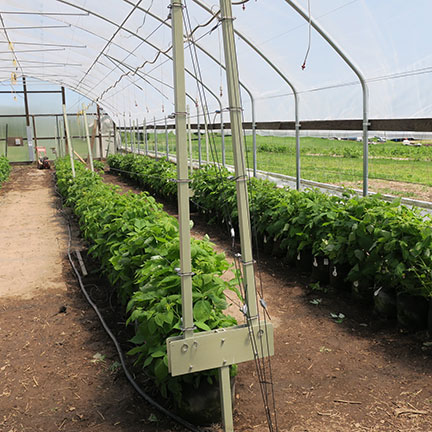 The raspberries were rotated into the high tunnel on Monday, May 1, 2017. The irrigation system was repaired and installed and the trellis was set up.