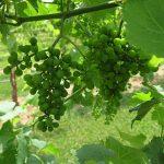 F Chardonel E-L Stage 31 Berries pea-size (7 mm diam.).