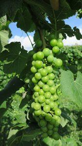 F Cayuga White E-L Stage 33 Berries still hard and green.