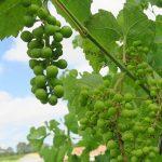 D Vivant E-L Stage 31 Berries pea-size (7 mm diam.).