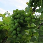 MVEC Valvin Muscat E-L Stage 33 Berries still hard and green.