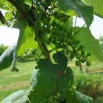 W Catawba E-L Stage 31 Berries pea-size (7 mm diam.).