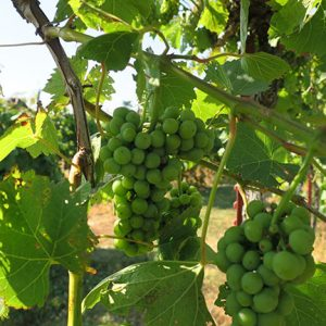 F Vignoles E-L Stage 34 Berries begin to soften; Sugar starts increasing.
