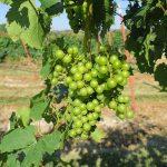 F Chardonel E-L Stage 34 Berries begin to soften; Sugar starts increasing.