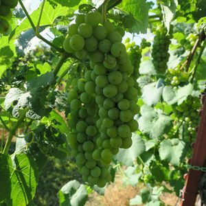 F Cayuga White E-L Stage 34 Berries begin to soften; Sugar starts increasing.