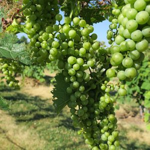 D Vidal Blanc E-L Stage 33 Berries still hard and green.