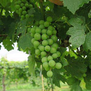 G Cabernet Sauvignon E-L Stage 33 Berries still hard and green.