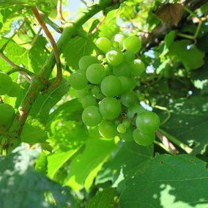 MVEC Delaware E-L 33 Berries still hard and green.