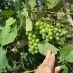 MVEC Sunbelt E-L Stage 33 Berries still hard and green.