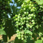 MVEC Chambourcin E-L Stage 33 Berries still hard and green.