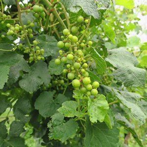 NWV Arandel E-L Stage 33 Berries still hard and green.