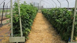 The raspberries in bags after the canopy was thinned during the first two weeks in July.