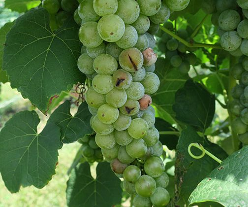Grape harvest begins with Cayuga White
