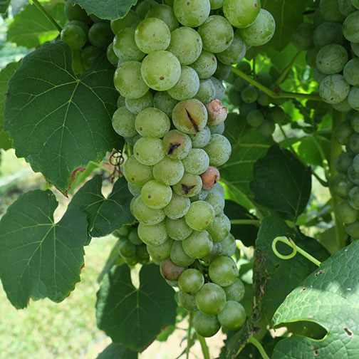 Berry cracking resulting from recent rains necessitated earlier harvest on Cayuga White.