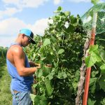 After the nets are lifted off of one side of the row, we begin to harvest.