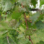 R Seyval Blanc E-L Stage 40 After harvest.