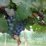 G Cabernet Sauvignon E-L Stage 37 Berries not quite ripe.